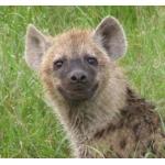 Zdjęcie profilowe hyena